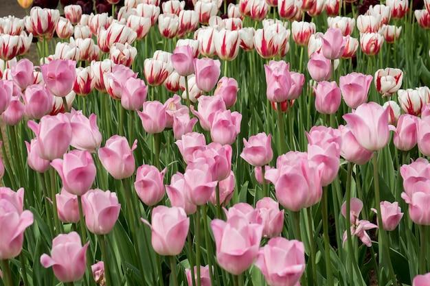 Bunte tulpenblumen, die in einem garten blühen