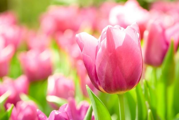 Bunte tulpenwiesennatur im frühjahr, tulpenblumenhintergrund