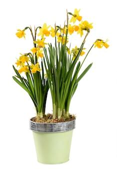 Bunte vergossene gelbe narzissen oder narzissenpflanze auf weiß