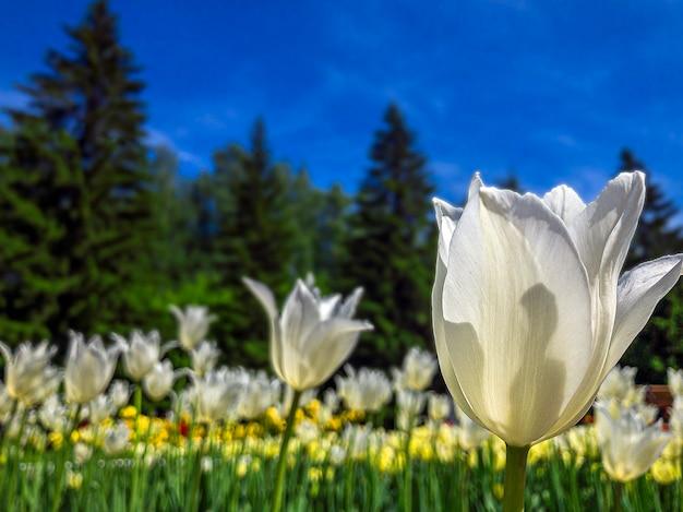 Bunte weiße tulpenblumen auf einem blumenbeet im stadtpark. natürliche landschaft.