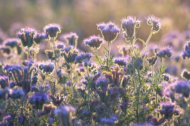 Bunte wildblumen im hintergrundbeleuchteten abendsonnenlicht. die natur der blumenbotanik