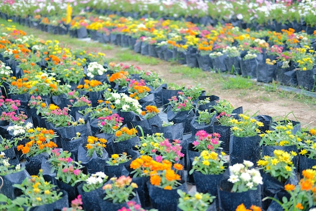 Bunte zinnienblume im wachsen in der florafarm. anbau von blumen