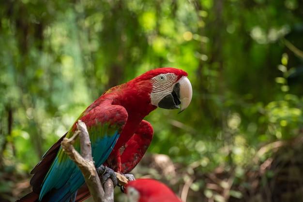 Bunter ara papagei auf einem ast