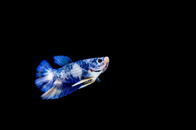 Bunter betta-fisch auf schwarzem hintergrund