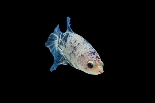 Bunter betta fisch. schöner siamesischer kampffisch, blauer marmor lokalisiert auf schwarz.