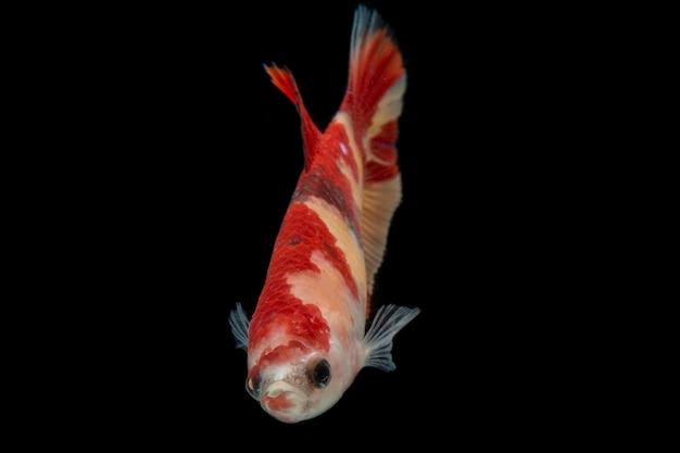 Bunter betta fisch. schöner siamesischer kampffisch, nemo gelbe basis lokalisiert auf schwarz.
