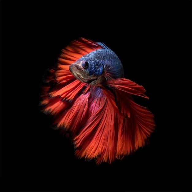 Bunter betta-fisch, siamesischer kämpfender fisch in der bewegung lokalisiert auf schwarzem hintergrund.