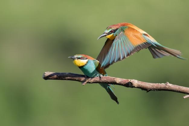 Bunter bienenfresser, der neben einem anderen aus dem ast fliegt