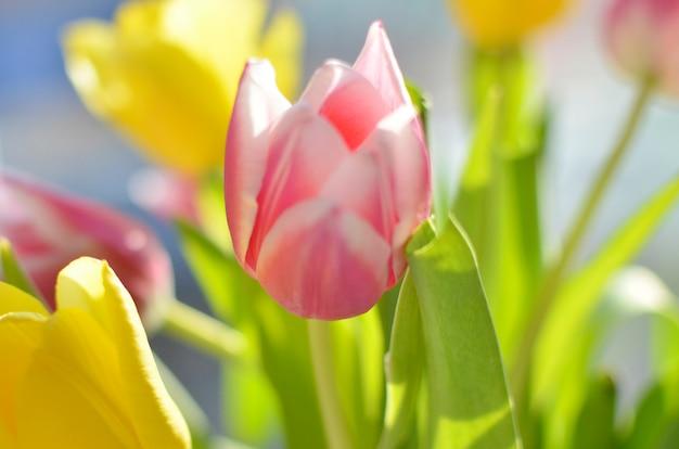 Bunter blumenstrauß von tulpen auf dem hintergrund des fenster-, gelben und rosafrühlings blüht