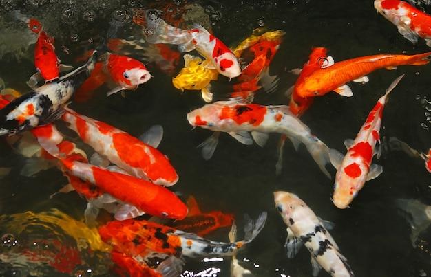 Bunter fantastischer karpfenfisch