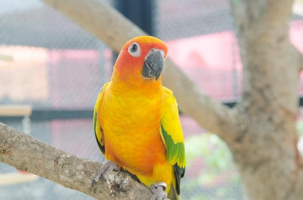 Bunter gelber papagei, sun conure (aratinga solstitialis)