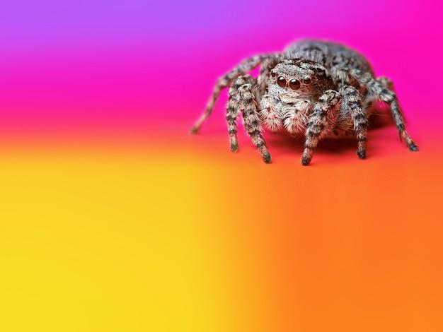 Bunter, heller, mehrfarbiger, regenbogenhintergrund mit einer schönen grauen springenden spinne auf ihr