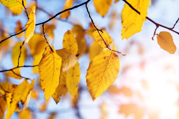 Bunter herbsthintergrund. gelbe herbstblätter auf einem hintergrund des blauen himmels im sonnenlicht