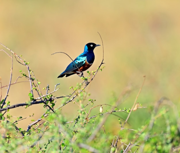 Bunter hervorragender star (lamprotornis superbus). kenia. afrika
