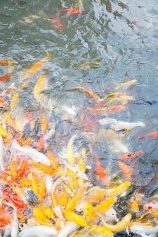 Bunter hungriger koi fisch im wasser
