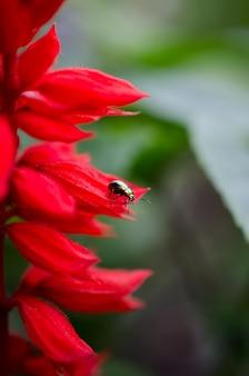 Bunter käfer, der auf eine schöne rote blume kriecht