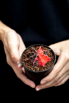 Bunter kaktus gymnocalycium mihanovichii