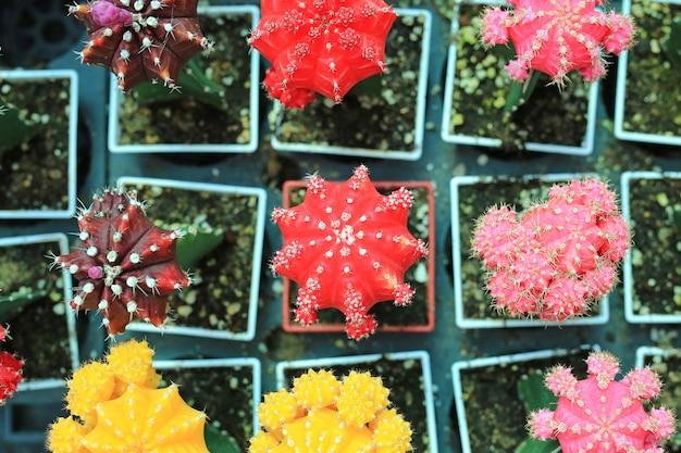 Bunter kaktus im gewächshauswachsen. draufsicht