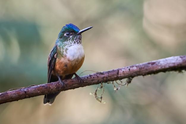 Bunter kolibri, der auf einem ast ruht