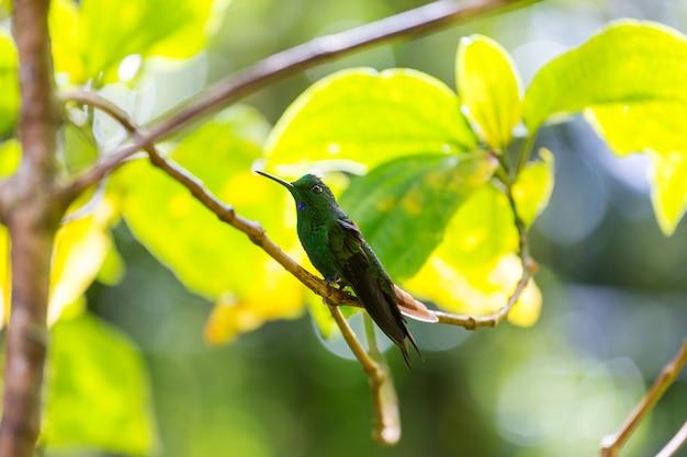 Bunter kolibri in costa rica, mittelamerika