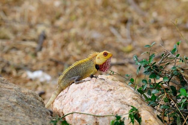 Bunter leguan auf einem stein, sri lanka