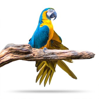 Bunter papageienvogel lokalisiert auf weißem hintergrund. blau und gold macaw auf den niederlassungen.
