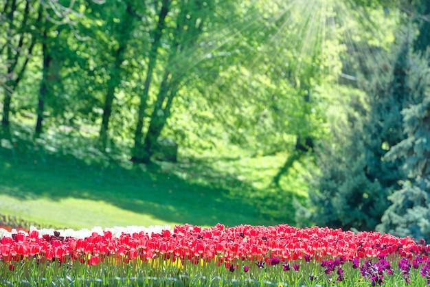 Bunter tulpengarten im grünen park mit sonnenstrahlen Premium Fotos