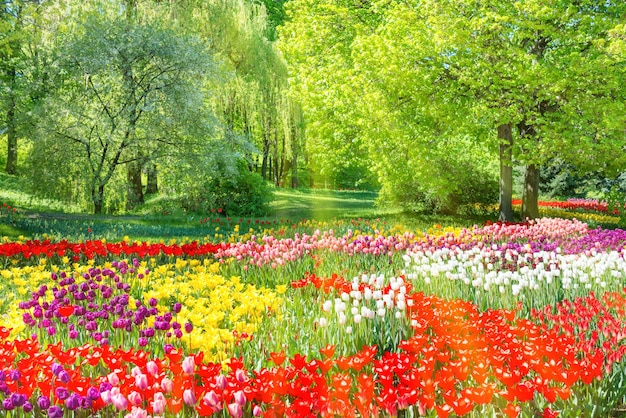 Bunter tulpengarten im grünen park