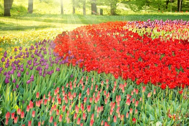 Bunter tulpengarten und blumenbeet im grünen park mit sonnenstrahlen Premium Fotos