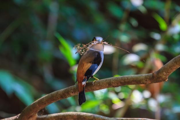 Bunter vogel silber-breasted broadbil