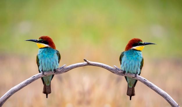 Buntes bienenfresservogelpaar, das auf einem zweig im frühjahr sitzt