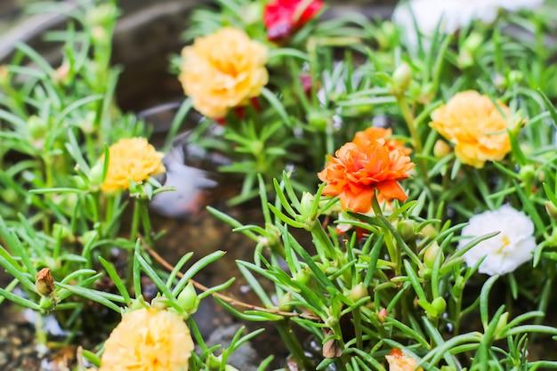 Buntes blühen des kleinen hogweed im blumentopf am garten