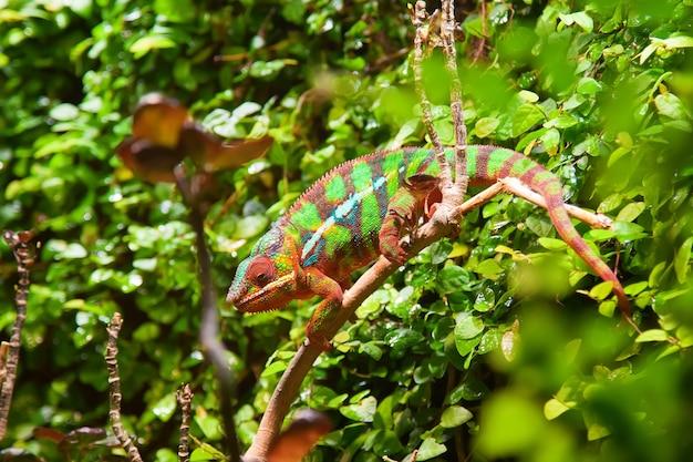 Buntes chamäleon in den grünen büschen auf einem zweig
