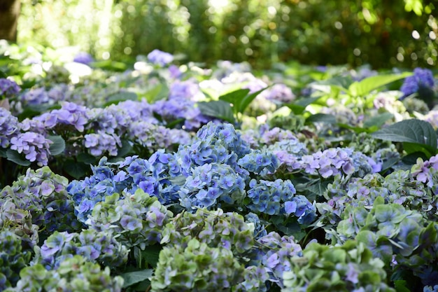 Buntes hortensieblumenfeld der nahaufnahme.