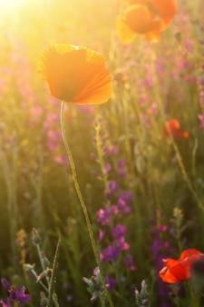 Buntes mohnblumenfeld des szenischen sommers