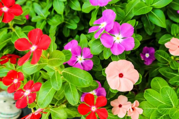Buntes rotes rosa purpur der singrünblume