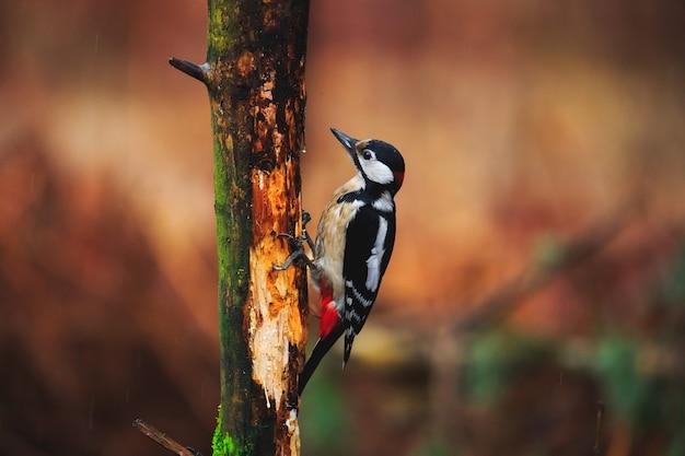 Buntspecht in einem regnerischen frühlingswald
