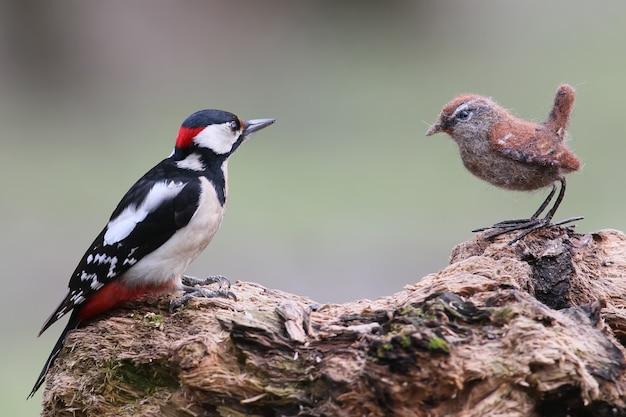 Buntspecht mit einem ausgestopften vogel