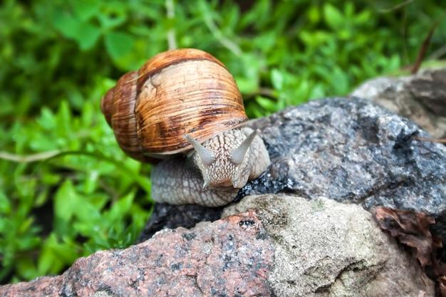 Burgunderschnecke (helix pomatia) oder schnecken in natürlicher umgebung. nahaufnahme