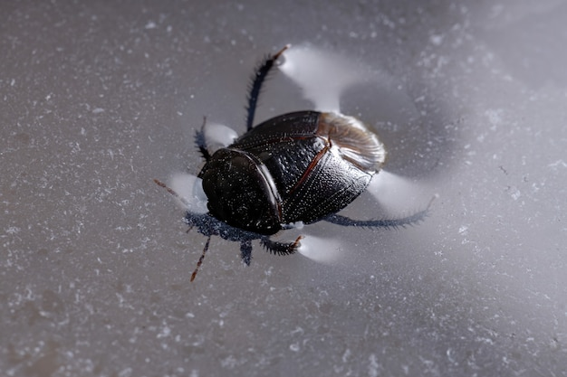 Burrowing bug der unterfamilie cydninae