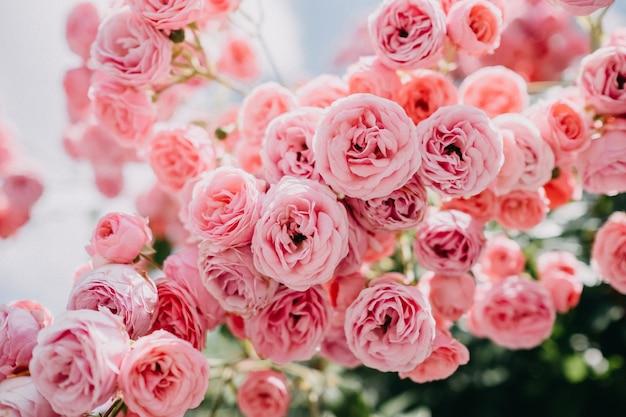 Busch der blassrosa rosen in einem garten