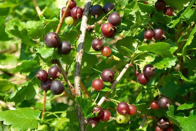 Busch der schwarzen johannisbeeren mit grünen blättern