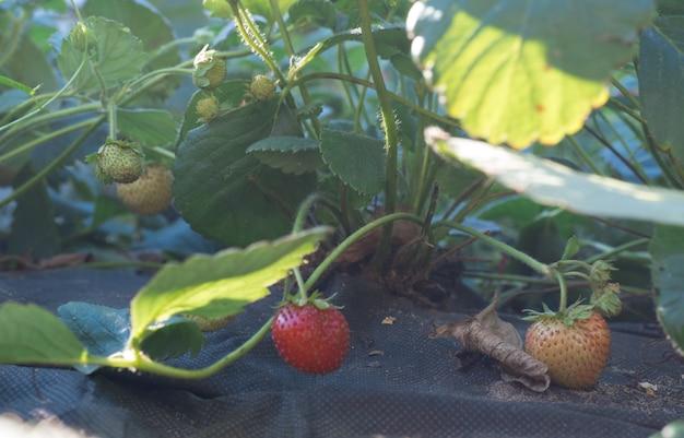 Busch mit frischen roten und grünen erdbeeren im gartenbeet auf dem abdeckmaterial.
