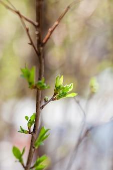 Busch mit grünen blättern, feld, garten, frühling, jungen blättern, natur