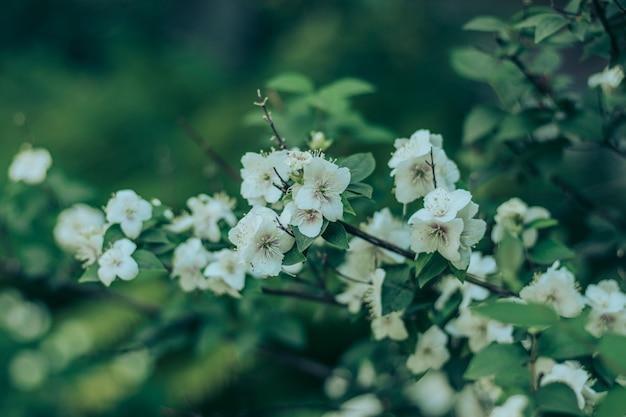 Busch mit schönen weißen blüten
