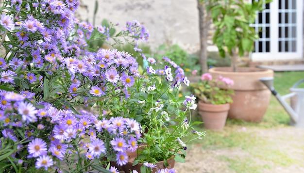 Busch von asterblumen, die im garten eines ländlichen hauses blühen