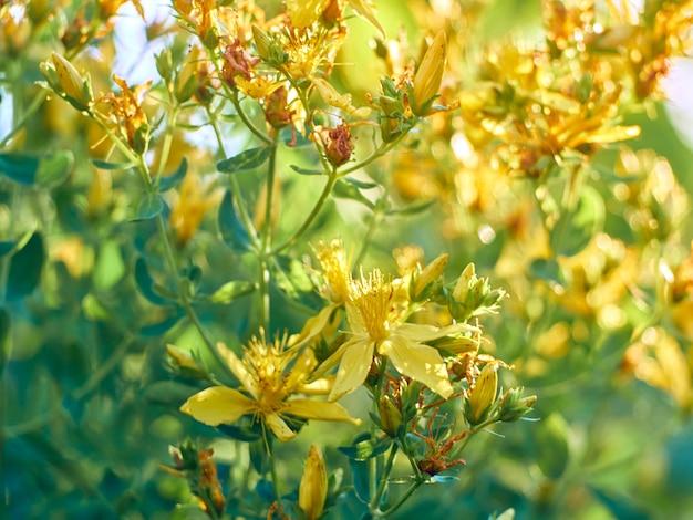 Busch von gelbem hypericum perforatum