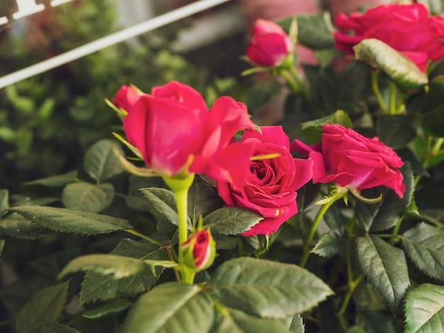 Busch von rosa rosen schließen
