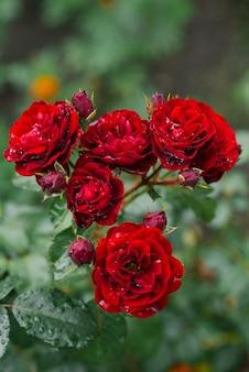 Buschige rote rosen der niederlassung nach regen mit wassertropfen