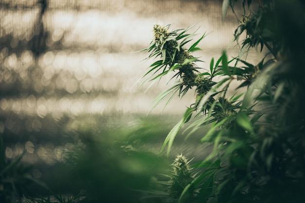 Bush blühender kräuterhanf mit samen und blüten. konzeptzucht von marihuana, cannabis, legalisierung.